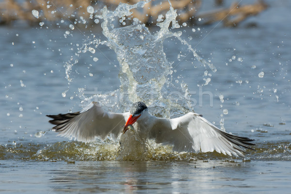 Caspian Tern resurfacing with a fish Stock photo © davemontreuil