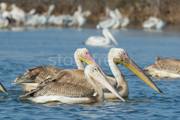 Pink-backed Pelican floating alongside two Great White Pelicans Stock photo © davemontreuil