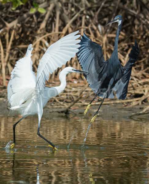 A white Western Reef Heron (Egretta gularis) forcibly chasing of Stock photo © davemontreuil
