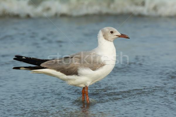 Gris permanent peu profond surf eau oiseau Photo stock © davemontreuil