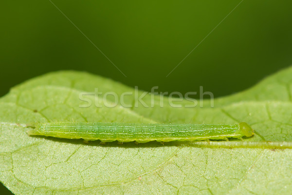 Green Caterpillar camouflaged to match leaf colour Stock photo © davemontreuil
