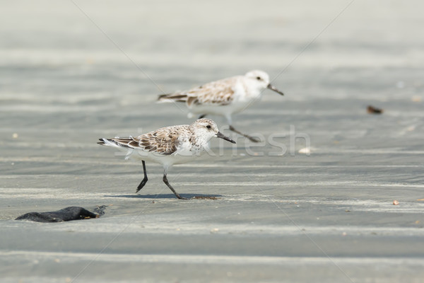 Two Sanderling running along the beach Stock photo © davemontreuil