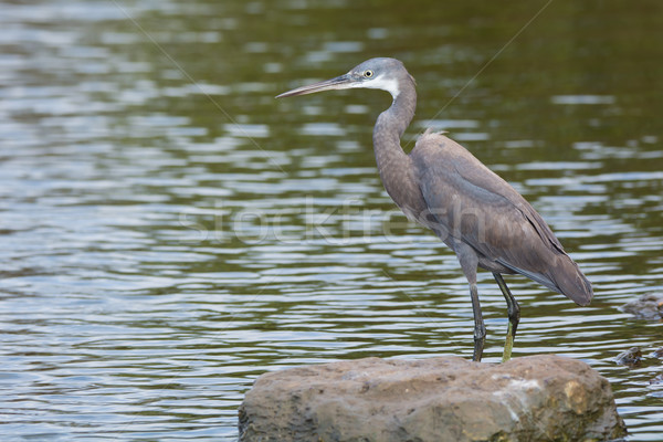 A pale Western Reef Heron standing in shallow water Stock photo © davemontreuil