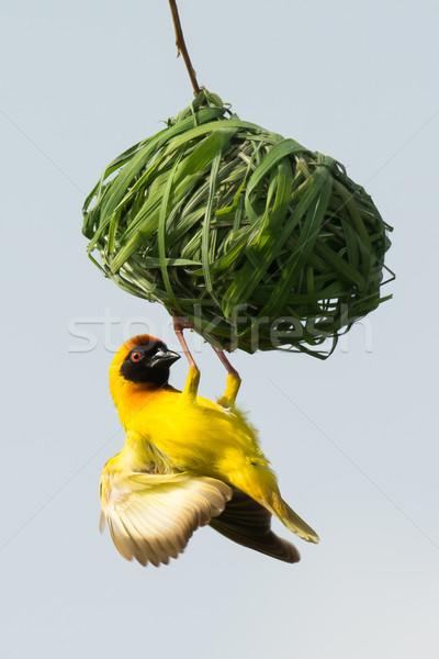 Male Vitelline Weaver inspecting a nest Stock photo © davemontreuil