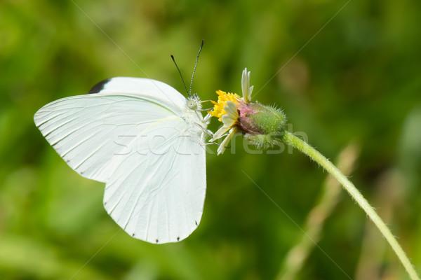Crémeux faible blanche papillon potable nectar Photo stock © davemontreuil