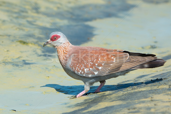 Stock photo: Speckled Pigeon(Columba Guinea)