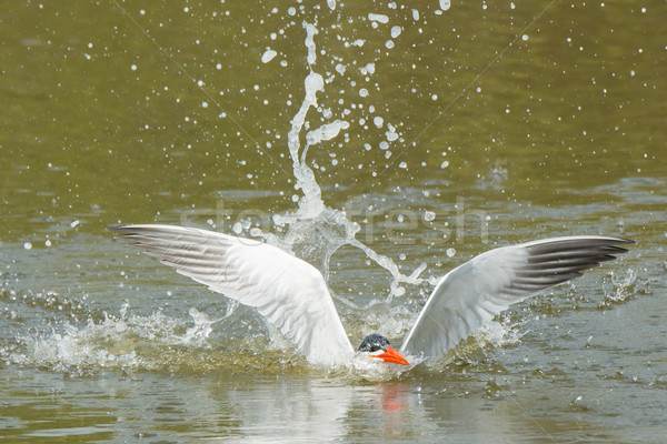 Caspian Tern resurfaces after a dive Stock photo © davemontreuil