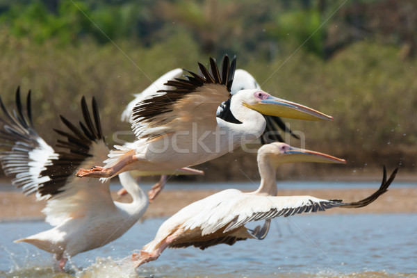 Great White Pelicans taking off Stock photo © davemontreuil