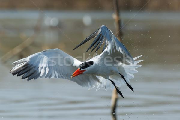 Caspian Tern in flight trailing water droplets Stock photo © davemontreuil