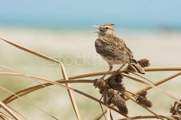 Crested Lark singing on dried grass with seeds Stock photo © davemontreuil