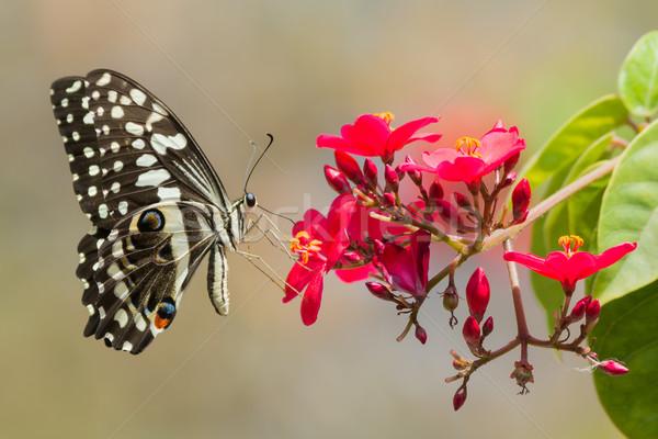 Cytrus Motyl pitnej nektar czerwone kwiaty czerwony Zdjęcia stock © davemontreuil