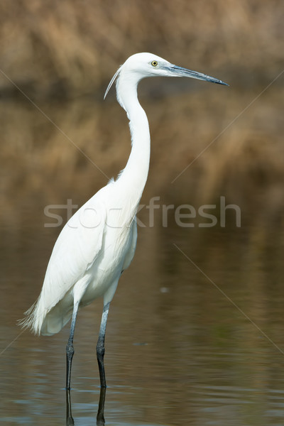 A white Western Reef Heron (Egretta gularis) standing in shallow Stock photo © davemontreuil