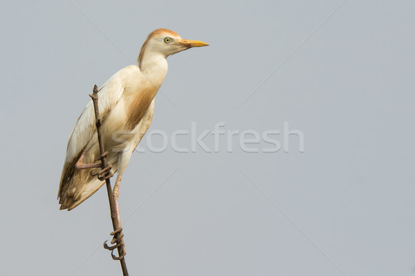 A Cattle Egret (Bubulcus ibis) perched on top of the mangroves Stock photo © davemontreuil
