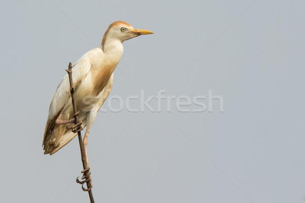 скота Top птица Африка красивой природного Сток-фото © davemontreuil
