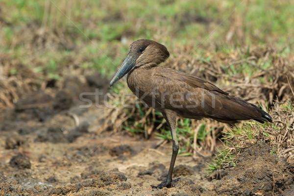 Piedi essiccati fango natura martello animale Foto d'archivio © davemontreuil