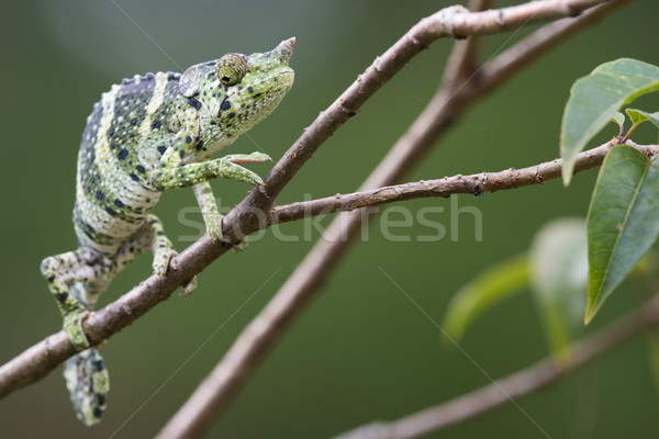 Melleri's Chameleon (Chameleo melleri) creeping along a branch Stock photo © davemontreuil
