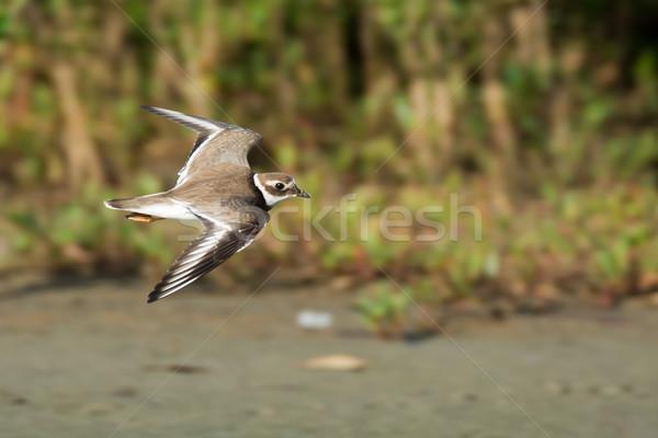 Ringed Plover (Chadrius hiaticula) in flight Stock photo © davemontreuil