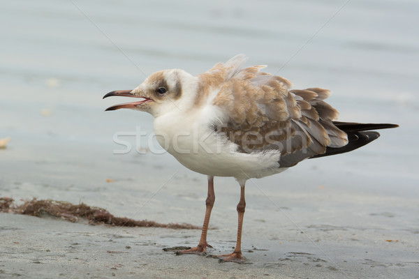 Grey-Headed Gull Stock photo © davemontreuil