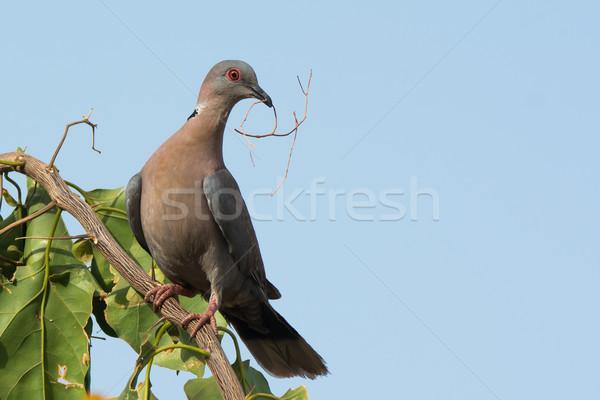 Afrikaanse rouw duif materiaal vogel witte Stockfoto © davemontreuil