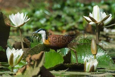 Black Crake walking through the lilies Stock photo © davemontreuil