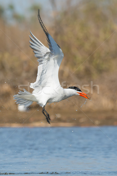 Dripping wet Caspian Tern with a fish gaining altitude Stock photo © davemontreuil