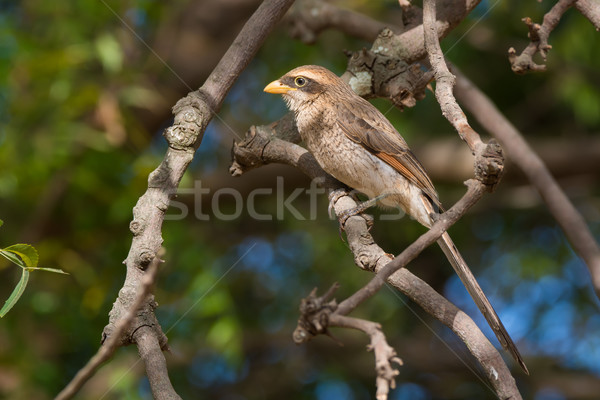 Yellow-billed shrike perched on a branch Stock photo © davemontreuil