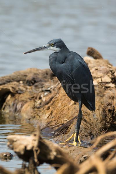 Ocidental garça-real em pé água natureza azul Foto stock © davemontreuil