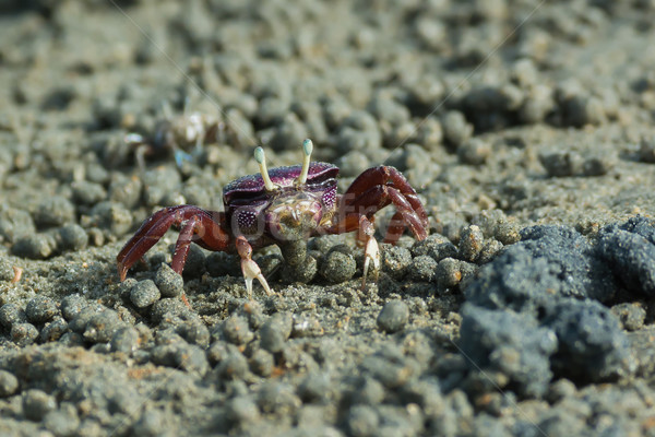 West African female purple Fiddler Crab filtering sand Stock photo © davemontreuil