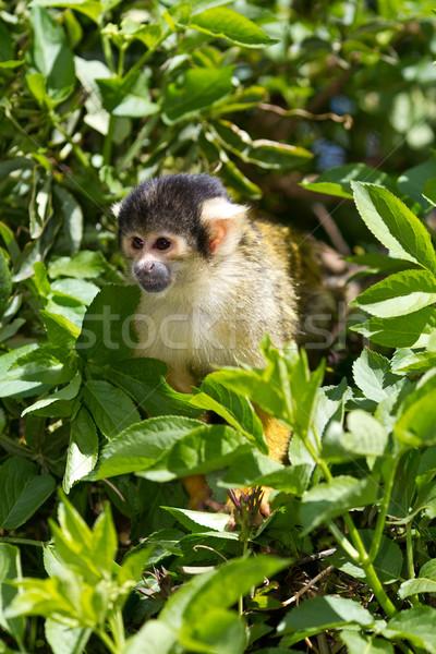 Wiewiórki małpa cute mały zwinny twarz Zdjęcia stock © david010167