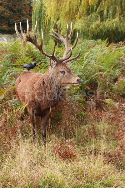 Majestic Stag Wild Red Deer  Stock photo © david010167
