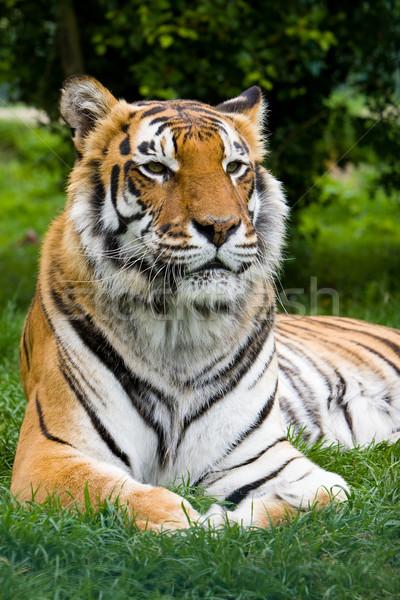 tiger  lounging Stock photo © david010167