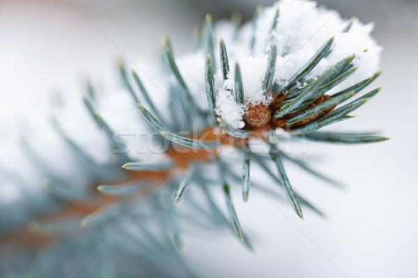 Mavi ladin kar şube Stok fotoğraf © david010167