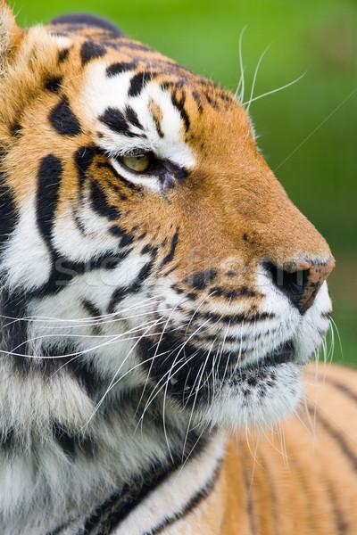 Tygrys portret charakter włosy Afryki kotów Zdjęcia stock © david010167