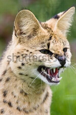 Afrika çim gözler doğa kedi kafa Stok fotoğraf © david010167