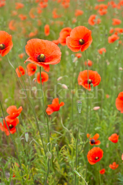 Beautiful poppies in a field Stock photo © david010167