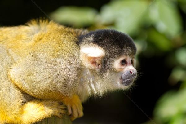 Esquilo macaco bonitinho pequeno ágil cara Foto stock © david010167