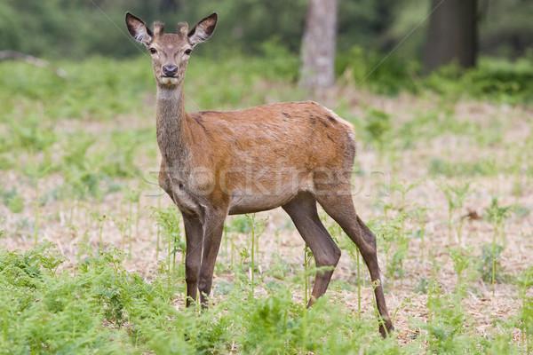 Kırmızı geyik park Stok fotoğraf © david010167