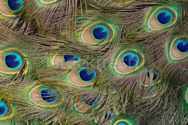 Páva gyönyörű kirakat tollak tollazat férfi Stock fotó © david010167
