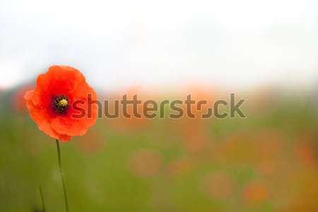 Beautiful poppies in a field Stock photo © david010167