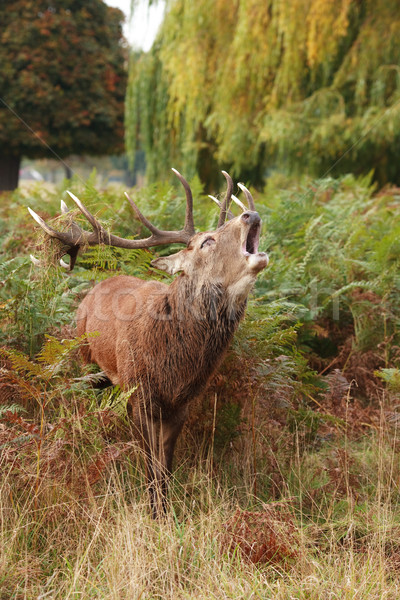 Majestic Stag braying Wild Red Deer  Stock photo © david010167