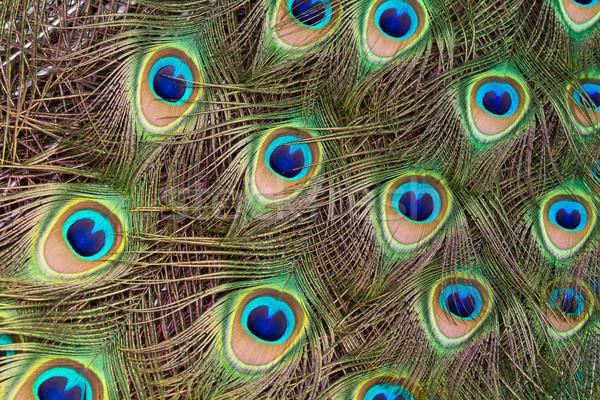 Paon belle écran plumage Homme Photo stock © david010167