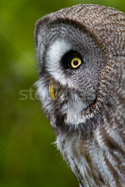 Great Grey Owl Stock photo © david010167