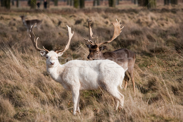 White Stag Deer Stock photo © david010167