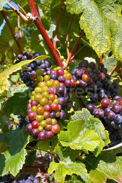 Winogron pozostawia winogron winorośli świeże rozwój Zdjęcia stock © david010167