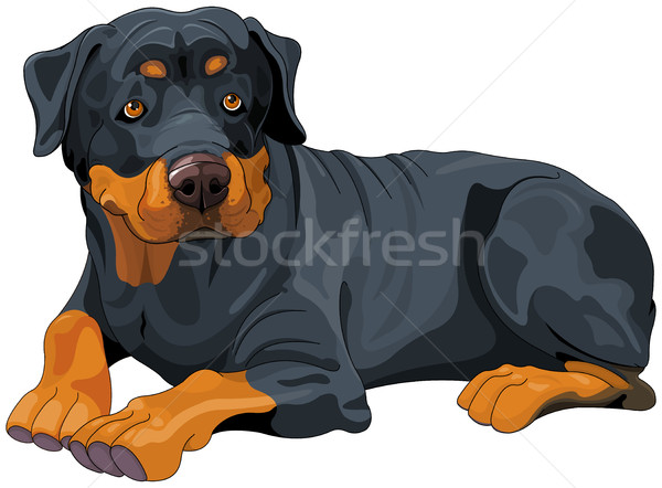 Rottweiler Stock photo © Dazdraperma