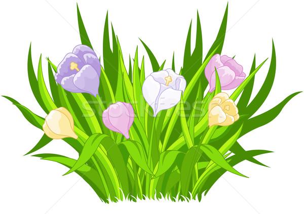 Crocus bouquet illustrazione bella fiore erba Foto d'archivio © Dazdraperma