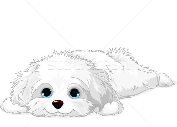 Blanco cachorro cute havanese perro Foto stock © Dazdraperma