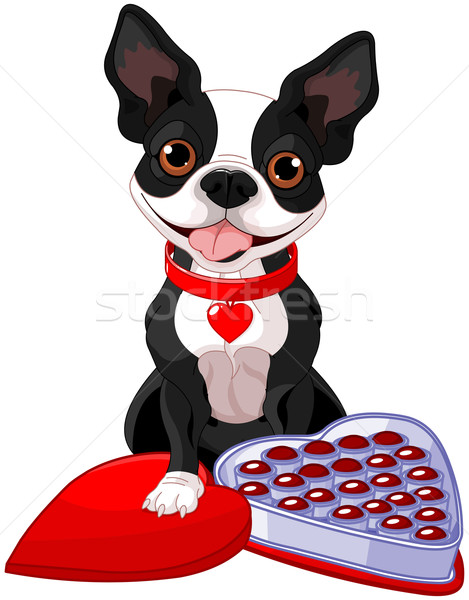 Valentin jour Boston terrier illustration chocolat Photo stock © Dazdraperma