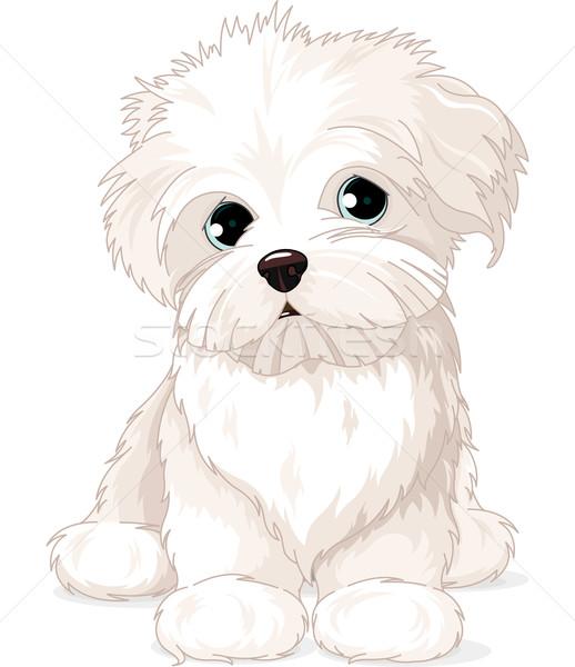 Stock photo: Maltese Puppy Dog