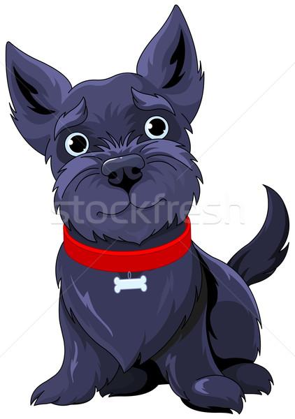 Scotch Terrier Stock photo © Dazdraperma